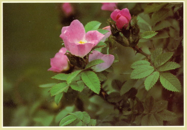 Colour postcards from the Furness Collection of wild flowers