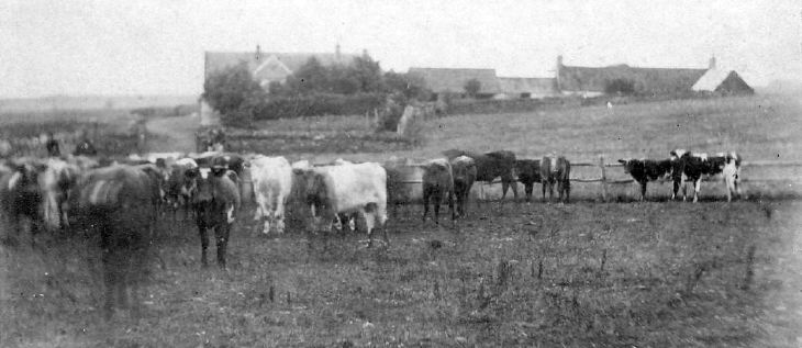 Cattle at Pitgrudy