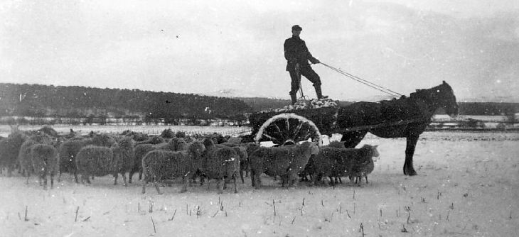 Man feeding sheep