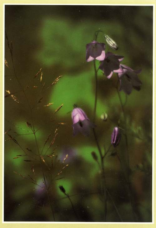 Furness Postcard Collection -   Wild Flowers