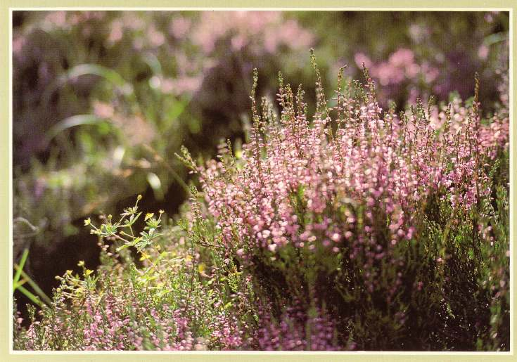 Furness Postcard Collection -   Wild Heather