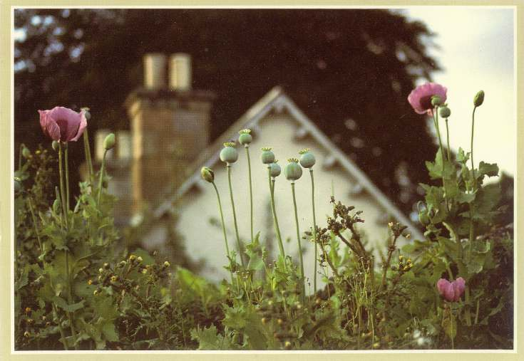 Furness Postcard Collection -  Poppies in a house garden