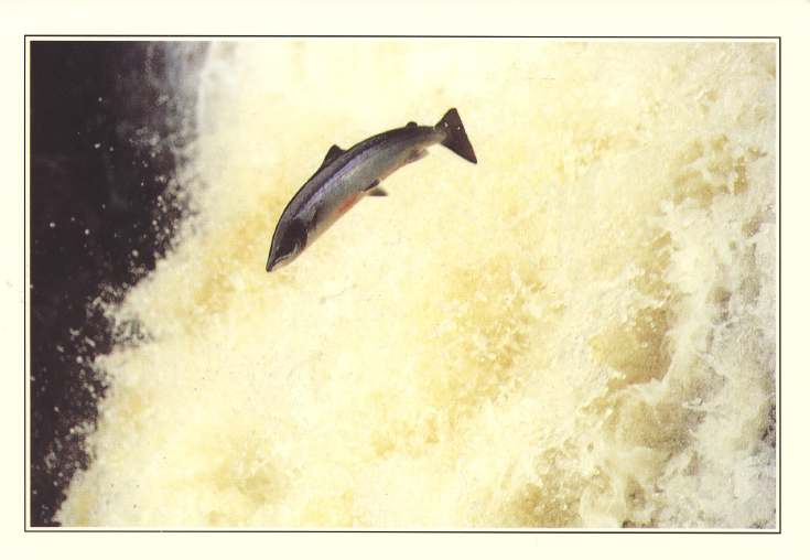 Furness Postcard Collection -  Salmon leaping the Falls of Shin