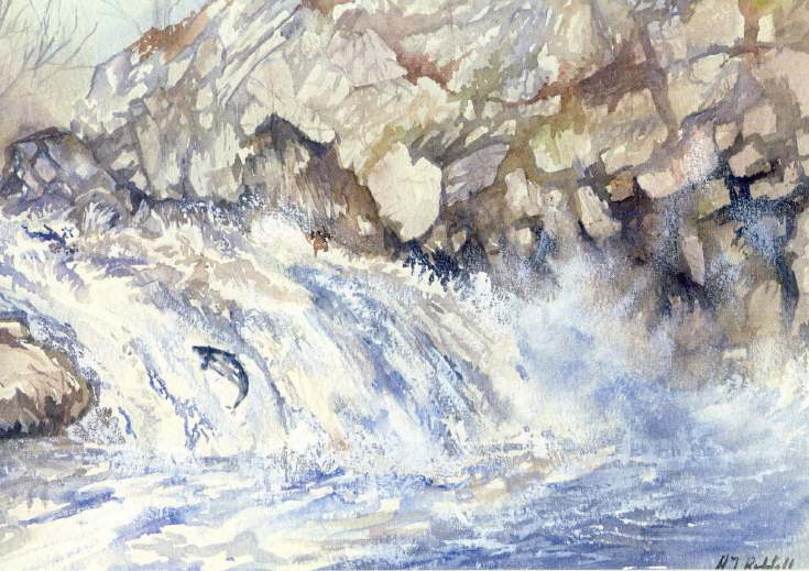 Furness Postcard Collection -  Drawing of a salmon leaping the Shin Falls