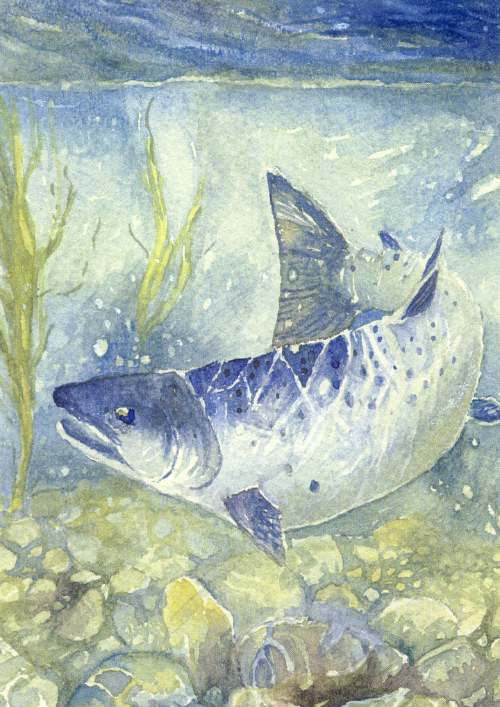 Furness Postcard Collection -  Drawing of a salmon underwater