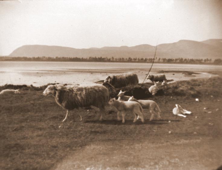 Sheep at Loch Fleet 1890's