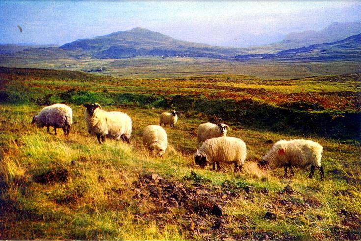 Sheep on moorland