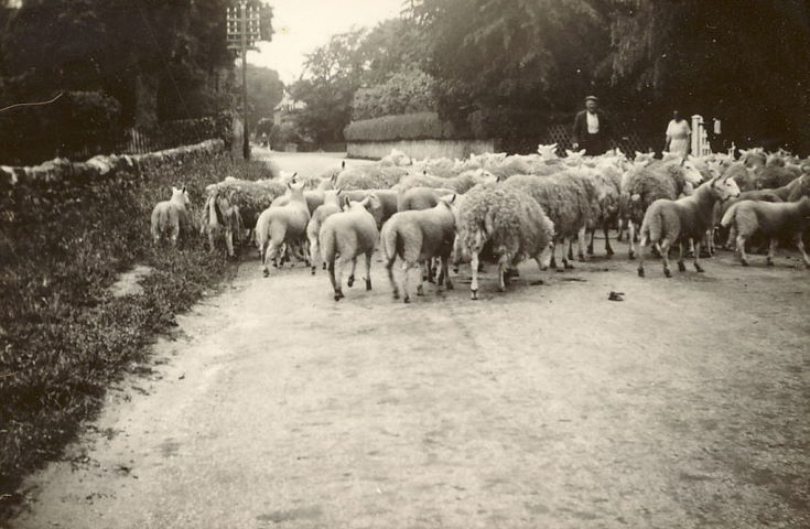 Sheep being driven down a road, possibly Clashmore