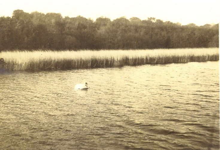 Swan, in a lake ~ Skibo ?