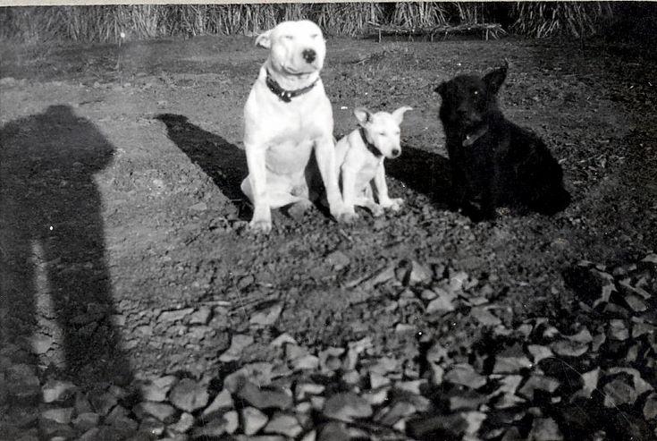 Three of Thomas Hardie's dogs