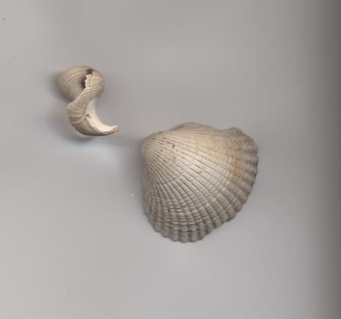 Shells found Dornoch Business Park 2006