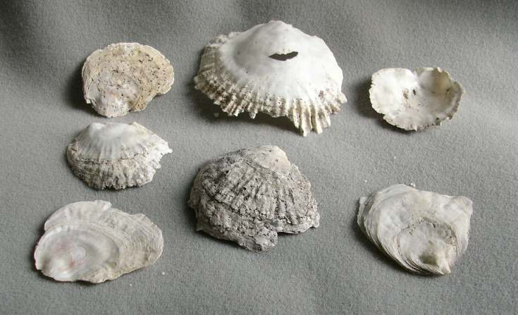 Shells from Cuthill Links
