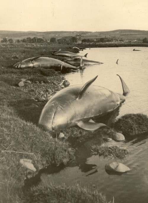 Whales stranded at Bonar Bridge 1927