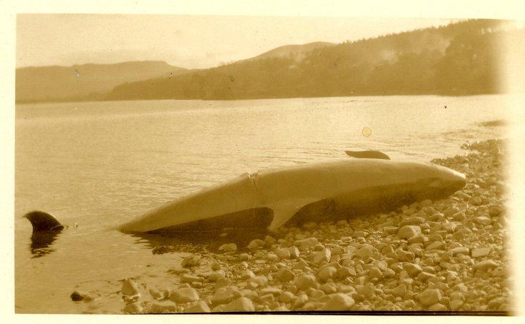 Stranded Dornoch Firth 'false killer whale' 1927